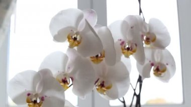 White orchid blooms — Stock Video