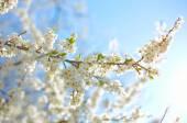 Manzano con muchas flores — Foto de Stock