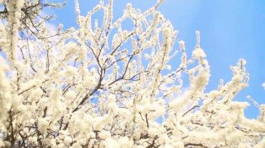 Красивые apple дерево филиал — Стоковое видео