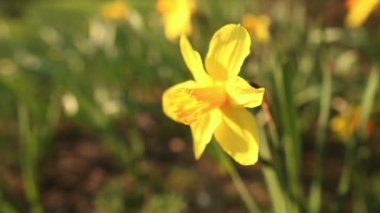 Beautiful narcissus close up — Stock Video