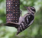 Hairy Woodpecker Feeding — Stock Photo