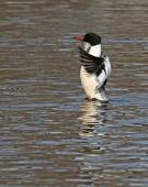 Wings Flapping Common Merganser — Stock Photo