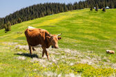 Cow Calf Loitering on Green Pasture Meadow — Stock Photo