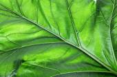 Bear's Breeches Leaf — Stock Photo