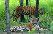 Two Bengal tigers — Stock Photo