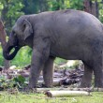 Asian elephant — Stock Photo #53346507