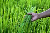 Green rice field with farmer hand — Stock Photo