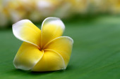 Close up of frangipani — Stock Photo