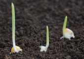 Corn sprouts germination — Stock Photo