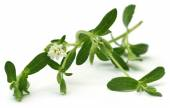 Stevia leaves with flower — Stock Photo