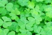 Green clover leaves — Stock Photo