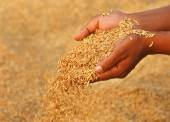 Hands holding golden paddy — Stock Photo