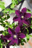 Purple blooming Clematis — Foto de Stock