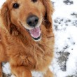 Golden retriever portrait at snow — Stock Photo #66834075
