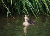 Chick mallard on the lake — Stock Photo