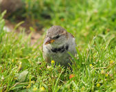 Sparrow in the grass — Stock Photo