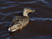 Duck on the lake — Stock Photo