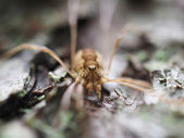 Opiliones spider — Stock Photo