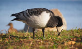 Barnacle goose — Stock Photo