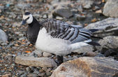 Barnacle goose — Stockfoto
