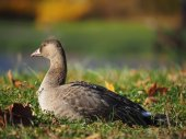 Goose on grass — Stock Photo