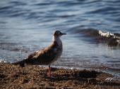 Gulls on the lake — Stock Photo