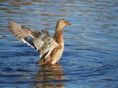 Duck flaps its wings — Stock Photo