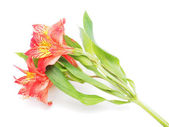 Peruvian lilies (Astroemeria) on white background — Stock Photo