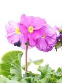 在白色背景上的紫 — 图库照片