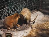 Nasua zoo — Stock Photo