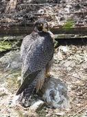 Bird of prey in the Zoo — Stock Photo