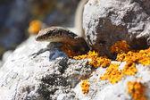 Crimean rock lizard — Stock Photo