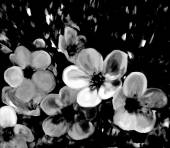 Stylized cherry flowers on grunge stained background in black and white colors — Stock Photo