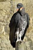 Juvenile King vulture — 图库照片