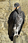 Juvenile King vulture — ストック写真