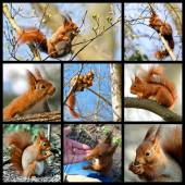 Mosaic red squirrel — Photo