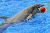 Bottlenose dolphin with a ball in the mouth — Stock Photo