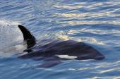 Killer whale swimming fast — Stock Photo