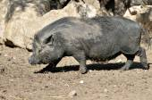 Vietnamese potbellied pig — Stock Photo