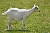 White goat on grass — Stock Photo