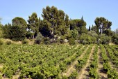 Vineyard of Le Castellet In France — Foto de Stock