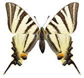 Isolated Scarce Swallowtail butterfly — Stock Photo