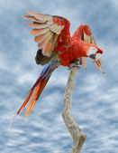 Scarlet Macaw on perch — Stock Photo