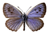 Isolated large blue butterfly (Maculinea arion) — Стоковое фото