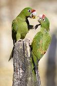 Mitred Parakeet on wood post — Stock Photo