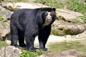 Andean bear — Stock Photo