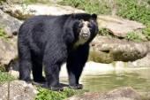 Andean bear — Stock Photo