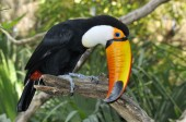 Toco toucan on branch — Stock Photo
