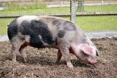 Pink and black sow — Stock Photo