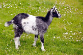 Juvenile goat on grass — Stock Photo
